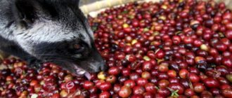 Кофе из Вьетнама лювак